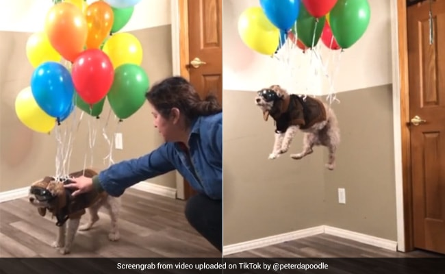 Over 20 Million Views For This Hilarious Tiktok Video Of Flying Dog