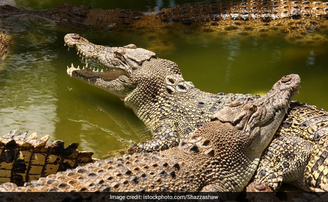 Yikes. Hunt For Crocodiles After Unknown Number Go Missing