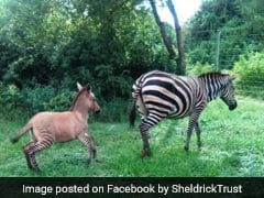 "In Kenya, Zebra Mates With Donkey, Gives Birth To ""Highly Unusual"" Zonkey"