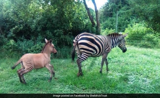 In Kenya, Zebra Mates With Donkey, Gives Birth To 'Highly Unusual' Zonkey