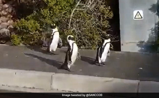 Viral Video: Penguins Waddle Around Empty Streets Amid Lockdown