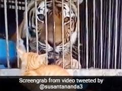 पिंजरे में बैठे बाघ पर बिल्ली ने मारा ऐसा झपट्टा, देखते ही बड़े से जानवर ने किया ऐसा... देखें Video