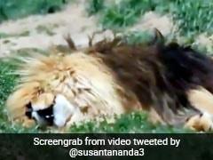 शेर ने सोते हुए लिए दहाड़ से भी तेज खर्राटे, सोशल मीडिया पर तेजी से वायरल हो रहा Video