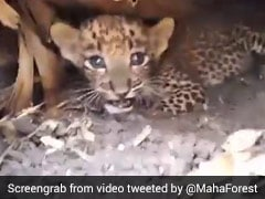 Watch How This Lost Leopard Cub Was Reunited With Mother In Maharashtra