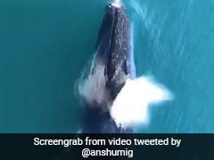 Fact-Checked: Viral Video Claims To Show Whales At Bombay High. Is It True?