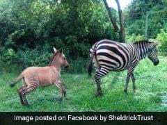 जेबरा का एक डॉन्की के साथ था अफेयर और एक जॉन्की को दिया जन्म, देखें Viral Photo