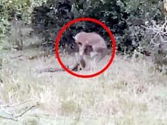 जंगल में हुई तेंदुए और अजगर के बीच खतरनाक जंग, Video में देखिए किसकी हुई आखिर में जीत...
