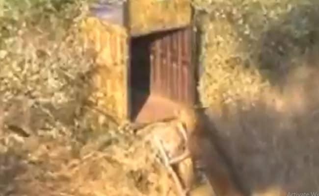 तेंदुए को पिंजरे में कैद करने के लिए लगाई सीढ़ी, जानवर ने ऊपर आकर दिखाई ऐसी चालाकी- देखें पूरा Video