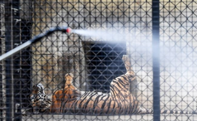 Social Distancing For Tigers At Zoo In Gujarat Over Coronavirus Fears