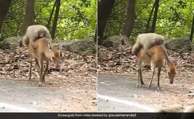 Lazy Monkey Hitches A Ride On Deer's Back In This Hilarious Video
