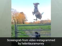 कुत्ते का दिमाग हुआ खराब तो बना 'हेलीकॉप्टर', देखें Viral Video