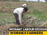 Video : Crop Harvest Suffer As Migrant Workers Return Home Amid Lockdown