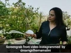 धर्मेंद्र फार्म हाउस पर सब्जियों का ले रहे हैं लुत्फ तो हेमा मालिनी भी यूं बागवानी करती आईं नजर- देखें Video