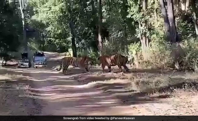 Two Tigers Fight Over Territory In Dramatic Footage