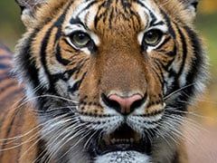 Tiger With COVID-19 Gets Medicines From New York's Bronx Zoo Keepers