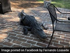 Angry Alligator Trashes Family's Backyard. Watch
