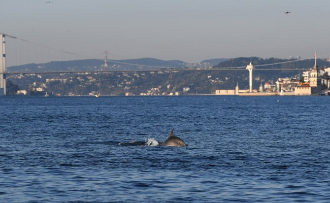 Coronavirus: Dolphins Swim Close To Turkey Shore Amid Lockdown. Here's Why
