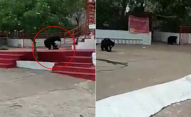 Bears At Temple, Once Dependent On Prasad, Search For Food Amid Lockdown