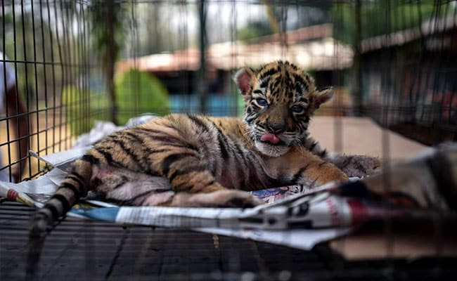 'Name Of Hope': Tiger In Mexico Zoo Named Covid. Watch