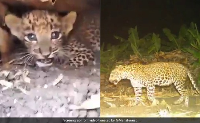 तेंदुए का बच्चा हुआ लापता तो मां ढूंढती रही दिन भर, आधी रात को मिला तो किया ऐसा... देखें CCTV Video