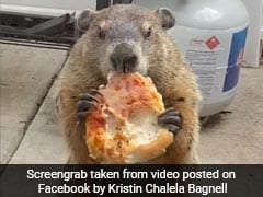 A Groundhog Taunts Dogs With Pizza In The Funniest Video You'll See Today