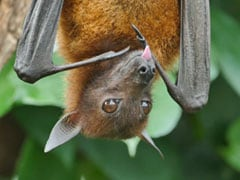 Dead Bats Found In UP's Ballia, Carcasses Sent For Testing:  Forest Officer