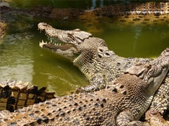 Odisha Boy Dragged In River By Crocodile While Bathing Found Dead