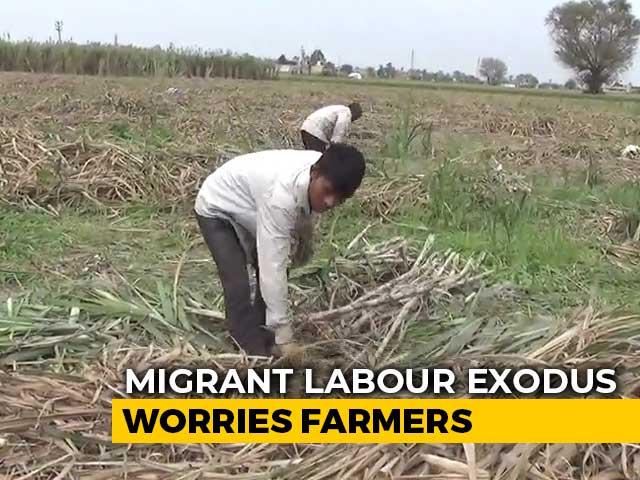 Video : Crop Harvest Suffer As Migrant Workers Return Home Amid Lockdown
