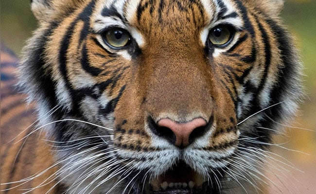 Global Tiger Day 2020: India's Story Of Successful Tiger Conservation