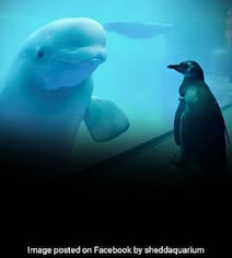 Penguin Visits Whales At Aquarium Closed Due To Coronavirus. Watch
