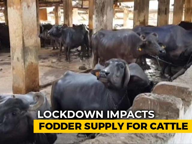 Video : Fodder For Mumbai's Aarey Colony's Cattle To Last 8 Days Amid Lockdown