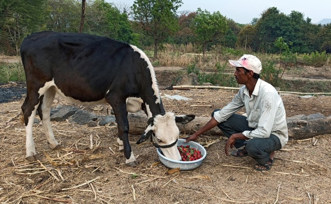In Lockdown, Indian Farmers Feed Broccoli, Strawberries To Cattle