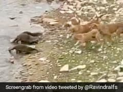 In Madhya Pradesh, Otters Fight Dogs To Protect Their Baby. Watch