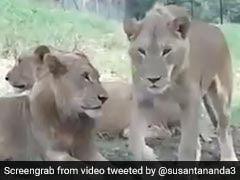 जंगल में शेरों को देख लड़की ने रोकी कार, धीरे से शेरनी ने खोला दरवाजा और फिर... देखें पूरा Video