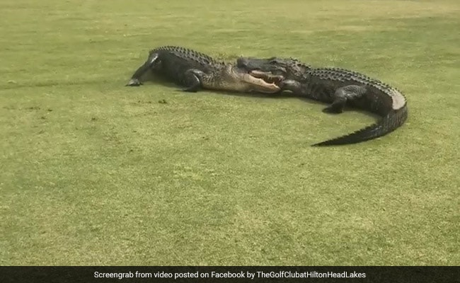 Watch Two Alligators In A Death Playoff At Golf Course