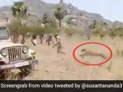 तेंदुए को डंडे से पीटने के लिए खेत में घुसा शख्स तो जानवर ने हवा में उछलकर किया Attack और फिर... देखें Video