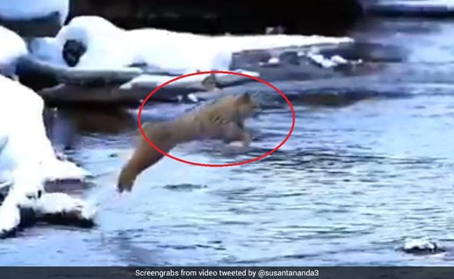 बिल्ली ने पानी में लगाई 25 फिट की लंबी छलांग, ट्विटर पर लोगों ने दिया ये रिएक्शन