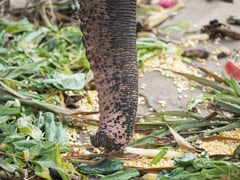 Elephant's <i>Jugaad</i> To Enjoy Mango From Tree Is Winning The Internet