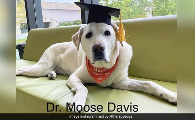 Meet Dr Moose, The Therapy Dog Awarded An Honorary Doctorate Degree