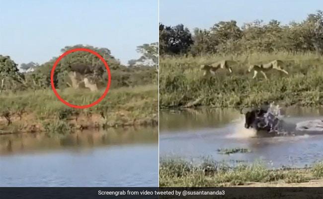 शेर ने घेरा तो हवा में उड़ गई भैंस, जान बचाने के लिए नदी में कूदी तो तीन शेरों ने किया ऐसा... देखें Viral Video