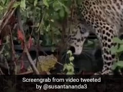 Watch: A Tiny Frog In A Fight With Leopard Has Twitter Amazed