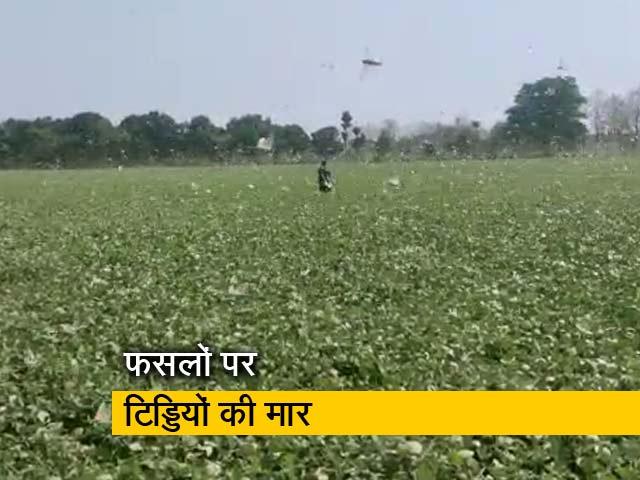 Videos : मध्य प्रदेश के शिवपुरी में टिड्डी दल ने दी दस्तक