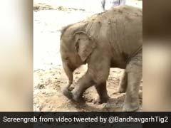 Baby Elephant Enjoys Mud Bath At Bandhavgarh. Too Cute, Says Twitter
