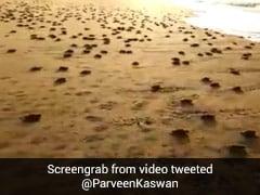 VIDEO: समुद्र के किनारे करोड़ों कछुए के बच्चे आए नजर, आप जरूर देखना चाहेंगे ये खूबसूरत नजारा