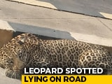 Video : Leopard Spotted Lying On Hyderabad Road Amid COVID-19 Lockdown
