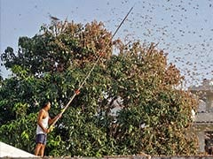 Swarm Of Locust Species Attack Crops In Tamil Nadu