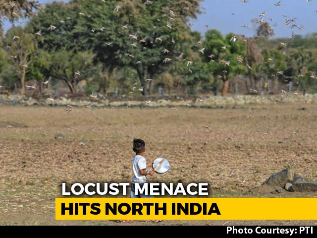 Video : Delhi Warns Of Possible Locust Attack, Overnight Ops In UP
