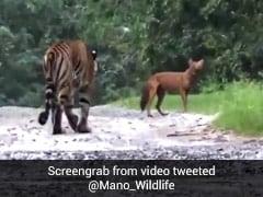 जंगली कुत्ते के पीछे भूखे बाघ ने लगाई दौड़ तो अजीबोगरीब तरह से भौंकने लगा कुत्ता और फिर... देखें Video