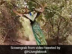 Footage Of Peacock Flying In Ranthambore Wows Twitter. Watch