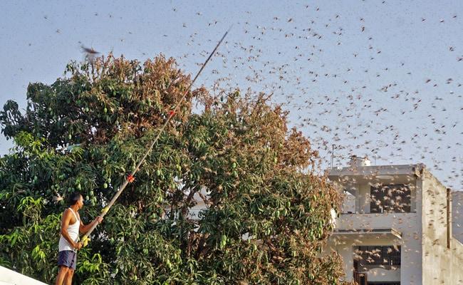 Punjab On Alert After Locusts Attack Crops In Rajasthan, Madhya Pradesh